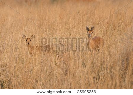 Male And Female Steenbock In Grass