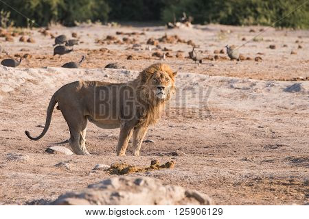 Single Male Lion