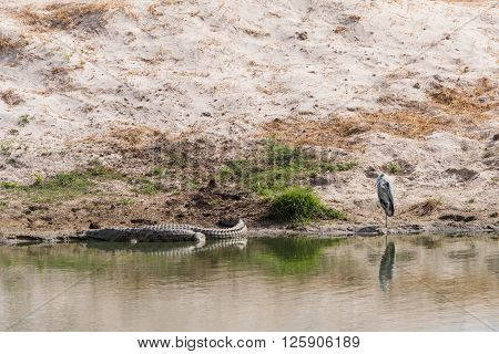Grey Heron And Crocodile