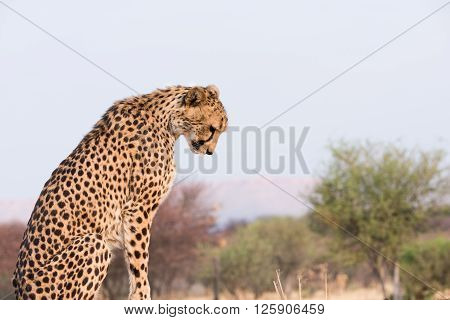 Cheetah Looking Down