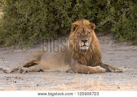 Male Lion Laying In Shade