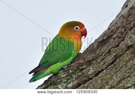 The Lilian's lovebird (Agapornis lilianae) in natural habitat