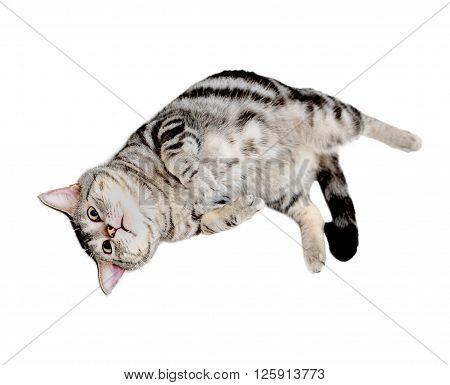 American shorthair cat is lying supine .