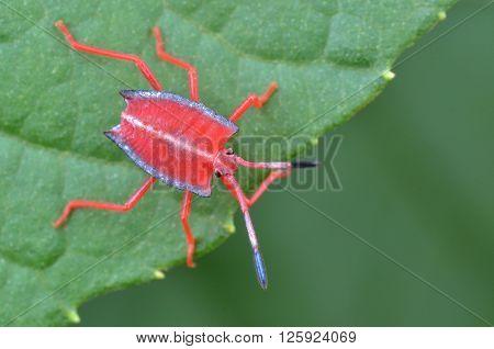 Red shield bug nymph on a green leaf