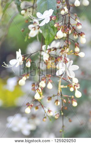 Nodding Clerodendron or Clerodendrum wallichii flower in blur background