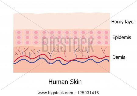 Human skin layer consists of horny layer Epidemis and Demis infographic
