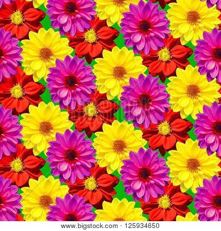 Dahlia Dahlietta mixed colours making a seamless pattern