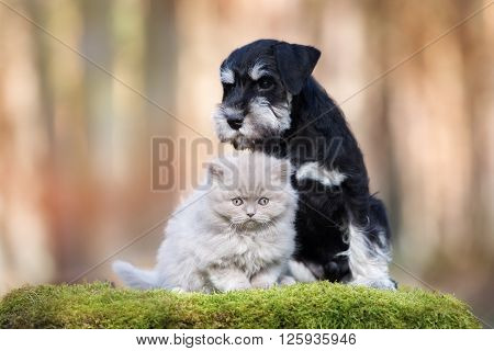 miniature schnauzer puppy with a fluffy kitten
