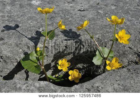 Marsh Marigold - Caltha palustris Growing in Limestone Grike The Burren Ireland