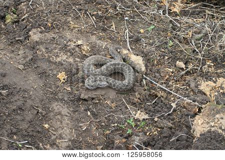 Common Viper Vipera On Latin Undertake Kind Of Poisonous Snakes Genus Vipera, Gray Snake With A Tria