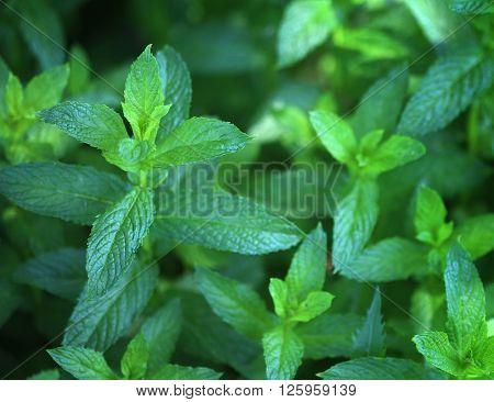 Background of organic pepper mint in garden, selective focus