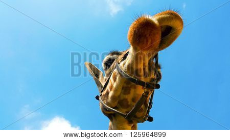 Portrait Of A Curious Giraffe (giraffa Camelopardalis) Taken From Below With Head Halter Over Blue S