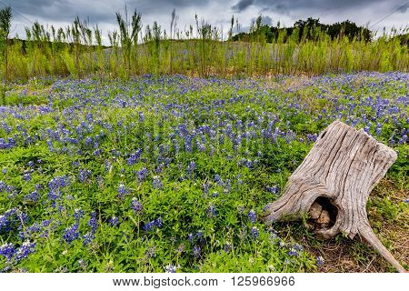 Old Tree Stump In A Field Of Famous Texas Bluebonnet Wildflowers
