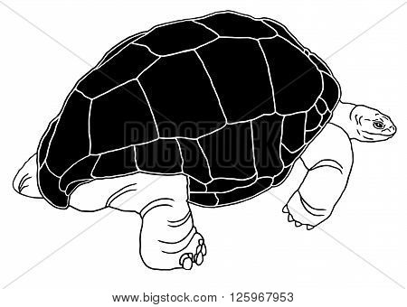 Aldabra giant tortoise is one of the largest tortoises in the world