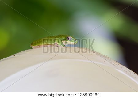 Green tree frog, litoria fallax, with tree fern spores on white spathiphyllum flower in tropical garden