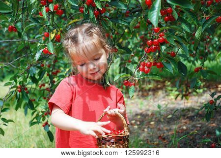 Shy little girl with a basket of harvest cherries in cherry garden