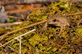 A Northern Spring Peeper found during the spring amphibian migration. poster
