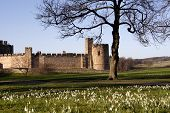 alnwick castle view with snowdrops and aconites poster