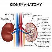 Illustration of diagram of human kidney anatomy. poster