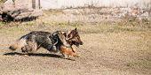 Furious German shepherd dog training. Running dog. Alsatian Wolf Dog. Deutscher, dog poster