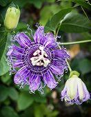 Macro photo of Passiflora incarnata flower in botanic garden. Natural scene. Beauty in nature. poster