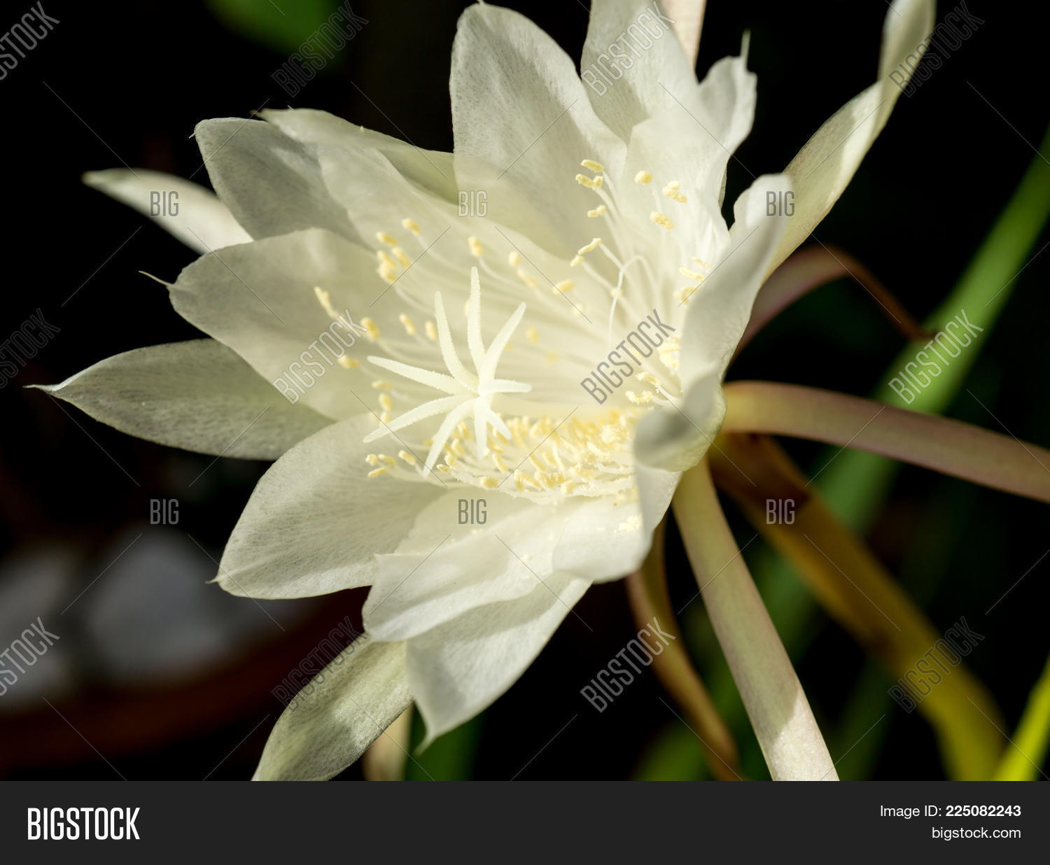 Macro white flower image photo free trial bigstock macro white flower queen of night epiphyllum oxypetalum nocturnal very fragrant flower blooms at night mightylinksfo