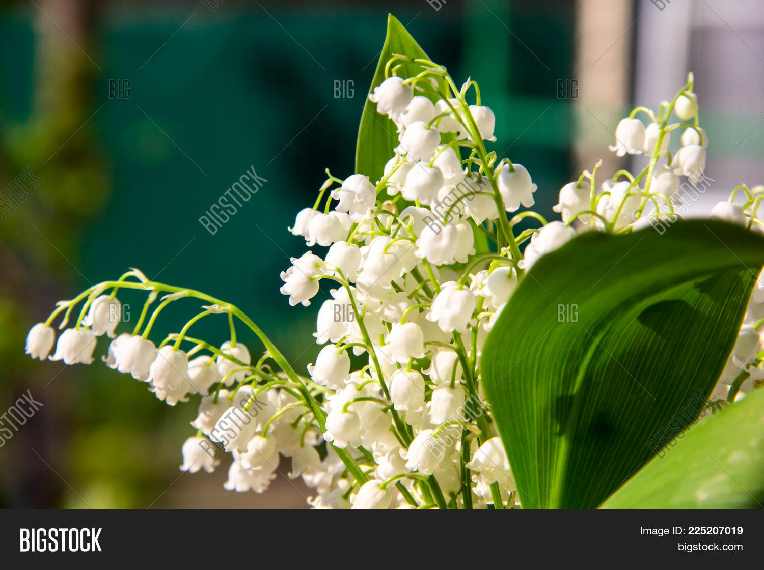 Lily Valley Flowers Image Photo Free Trial Bigstock