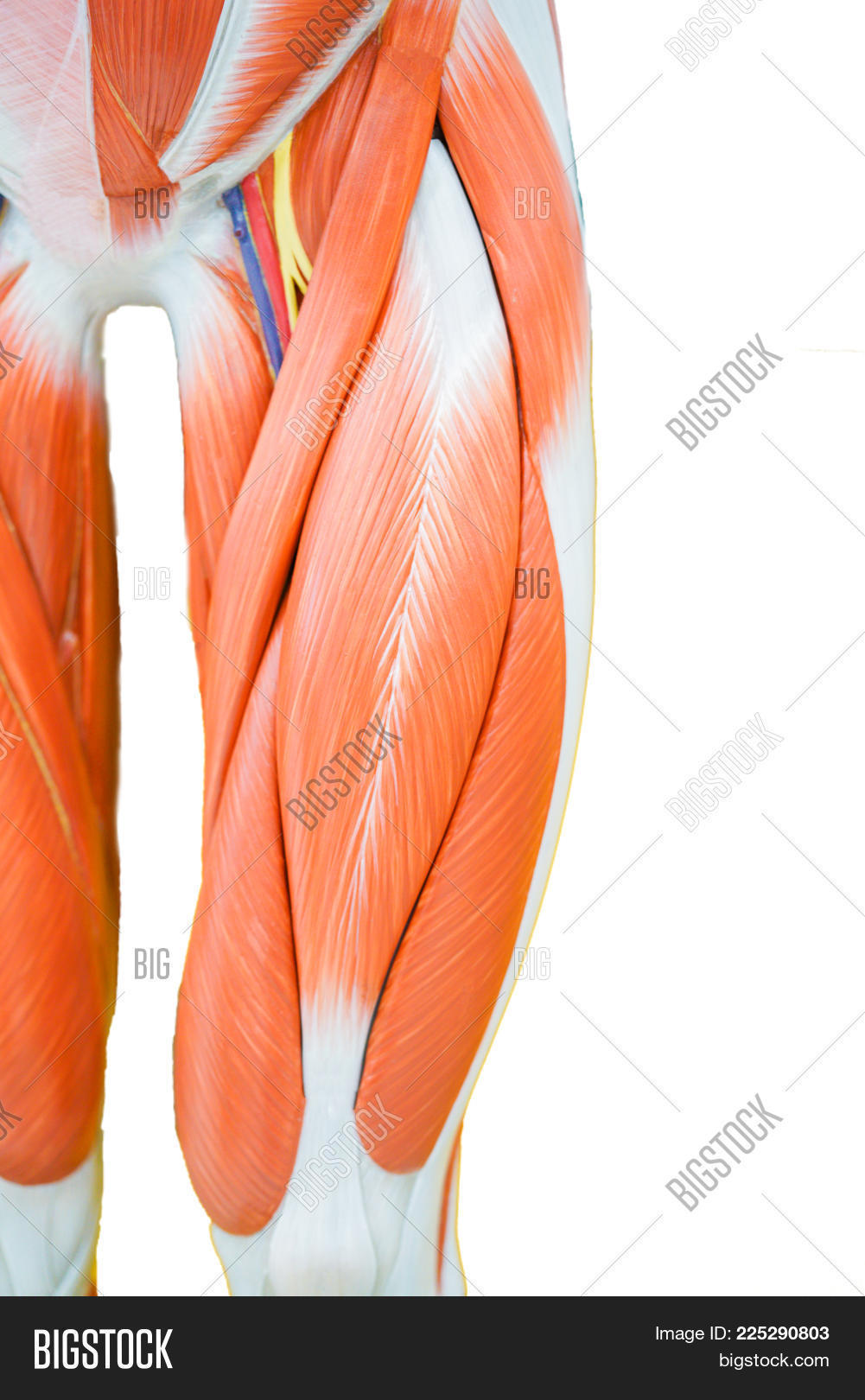 Human Thigh Muscle Image & Photo (Free Trial) | Bigstock