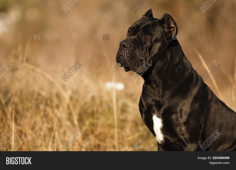 Large Dog Breed Cane Image Photo Free Trial Bigstock