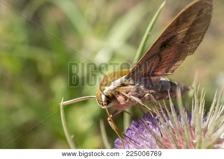 macro hawk moth macro detail extracting nectar from a thistle in springtime bugs, insect