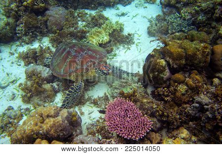 Sea tortoise in sea water. Marine green sea turtle closeup. Wildlife of tropical coral reef. Wild tortoise undersea. Tropical seashore animal. Marine turtle in blue water. Snorkeling underwater photo