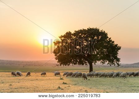 Beautiful rural landscape with a flock of sheeps and a big lonely tree in the setting light of golden hour, Dobrogea, Romania