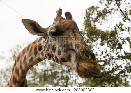 a Rothschild giraffe sticking out its tongue to receive a pellet of food in Nairobi, Kenya