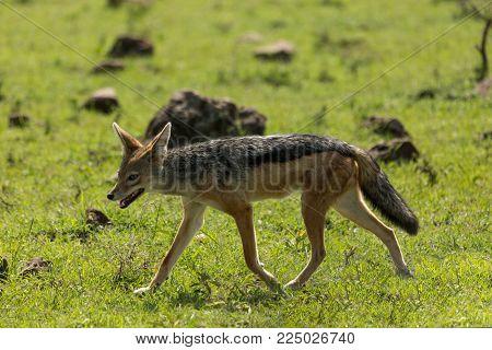 a single jackal walks across the grasslands of the Maasai Mara, Kenya