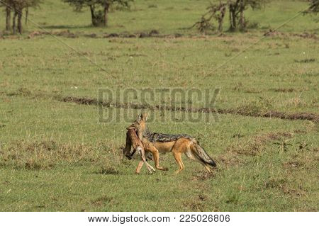 a single jackal carries away his kill on the Maasai Mara, Kenya