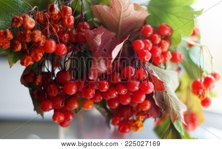 Guelder-rose fruits with leaves on branches in the fall
