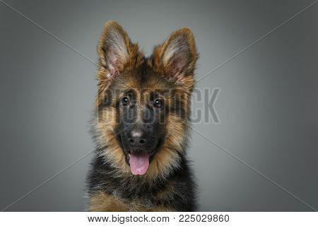 beautiful 4 month old german shepard puppy dog on grey background. copy space.
