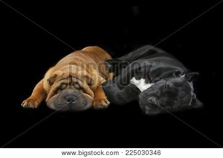 beautiful shar pei and cane corso puppy dogs sleeping isolated on black background. copy space.