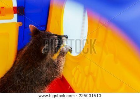 a curious raccoon , a pet, curious and funny