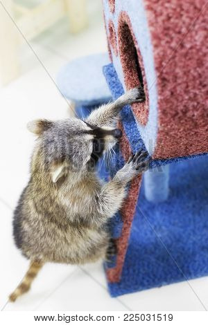 a curious raccoon , playing, pet, curious and funny