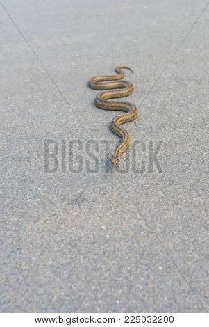 Cold-blooded viper warming its body on an asphalt road