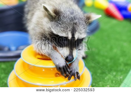 home playful raccoon, pet, curious and funny