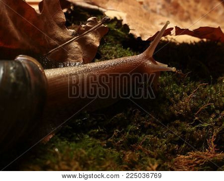 large snail Achatina in search of food