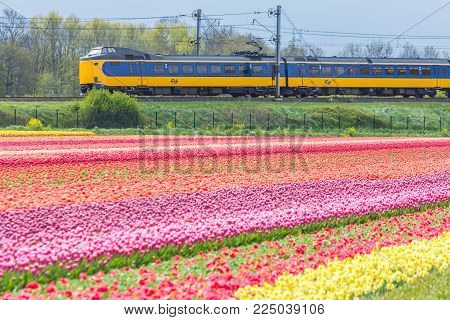 Zuid Holland, the Netherlands - 23 April 2017: Dutch electric sprinter train passing flower fields