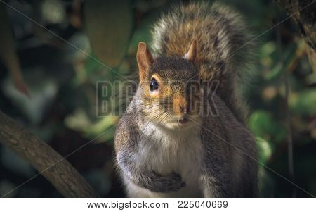 Very cute grey squirrel looking at camera close up.  Side lit by low morning sun.. great sharpness, vibrance and a dark background
