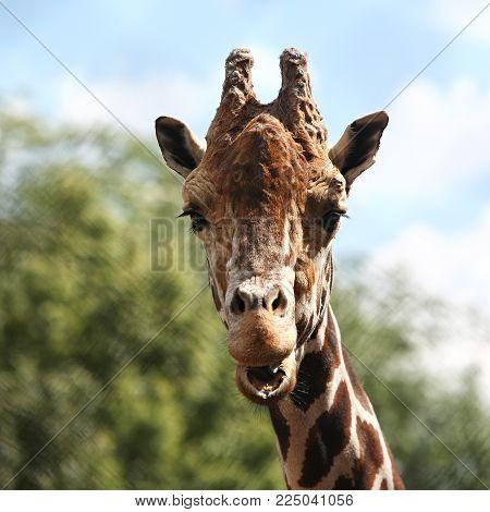 Animals - Portrait Africa Northern giraffe sky background