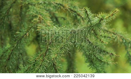 Pine branch with drops after rain. Spruce branch leaves with rain drops.Green lush spruce branch. Green spruce branch with water drops.