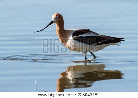 American Avocet. Searching for food near the shore of a shallow lake.