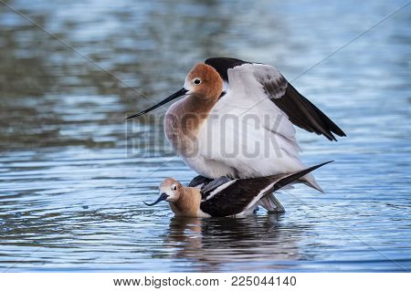 American Avocets Mating Ritual. In Shallow Water Near a Lake Shore.