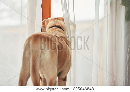 Dog waiting alone at home. Labrador retriever looking through the window.